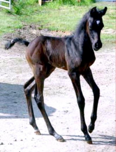 KM Bugatti as a foal