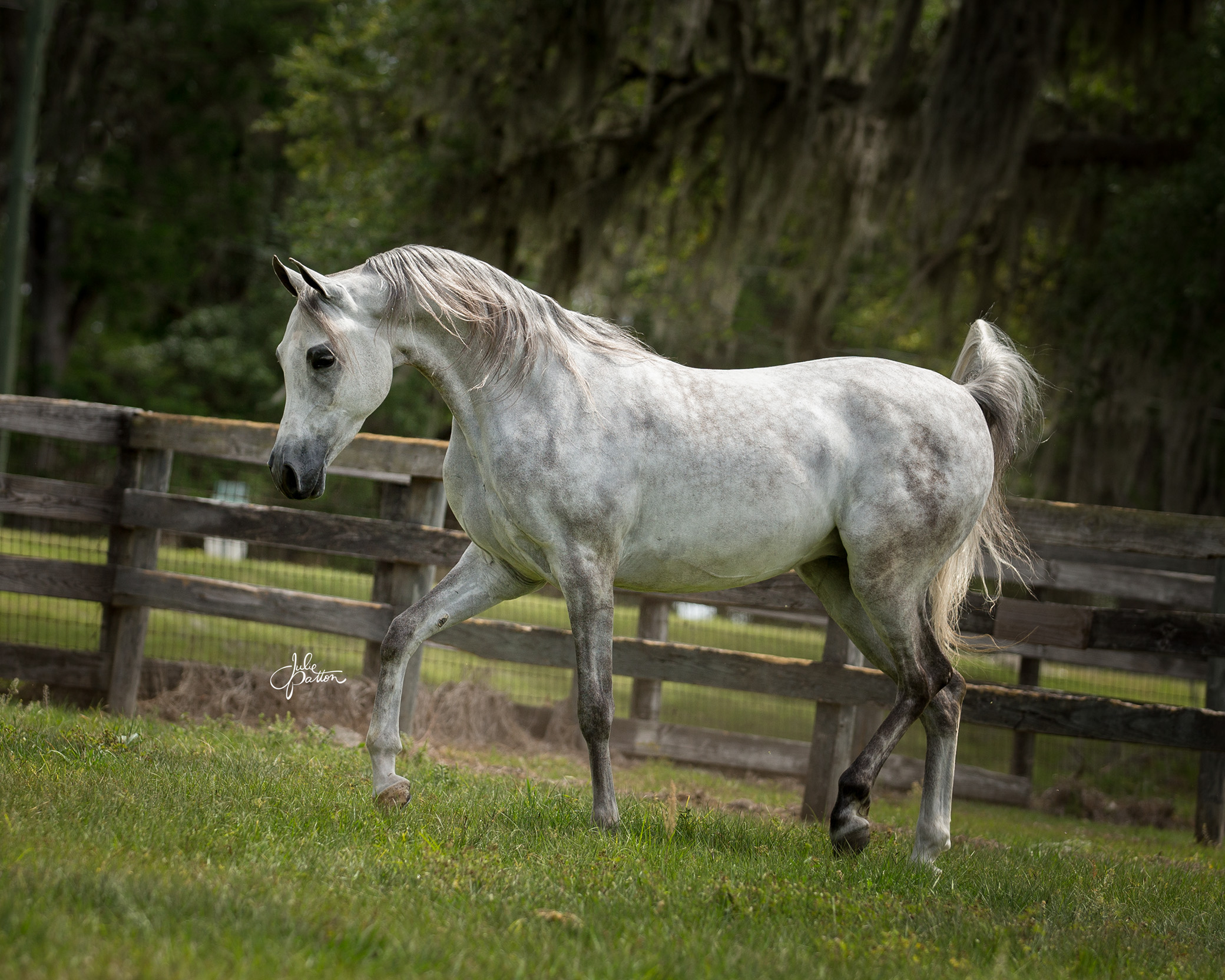 2013 Half Arabian Gelding by KM Bugatti out of National Champion Half Arabian Mare, Rohanna Europiana.